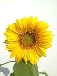 向日葵咲いた