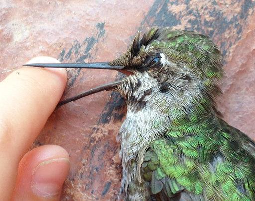 ハチドリの画像 p1_9