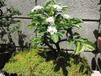 我が家の盆栽「カマツカ」とETC