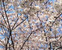 桜いっぱい咲いてました