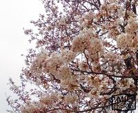 桜きれいですね~