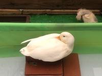 白鳥に噛まれる
