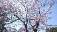 独り身の桜大鑑賞祭り in 航空自衛隊熊谷基地